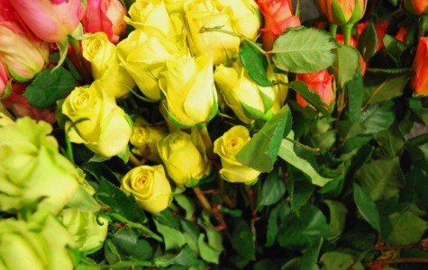 Key Club Sells Roses for a Cause