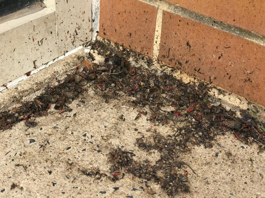 A+cluster+of+dead+spotted+lanternflies+are+found+outside+of+the+high+school.
