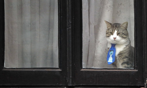 A cat, believed to be owned by Wiki Leaks founder Julian Assange, wears a tie as it looks out of a window at the Ecuadorian embassy in London, Friday, Jan. 26, 2018. Lawyers for Julian Assange are asking a British court on Friday to drop an arrest warrant for Assange, as Swedish prosecutors dropped the alleged sex offences case last year. (AP Photo/Frank Augstein)