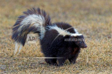 Want a pet that makes you stand out? Get a skunk. It