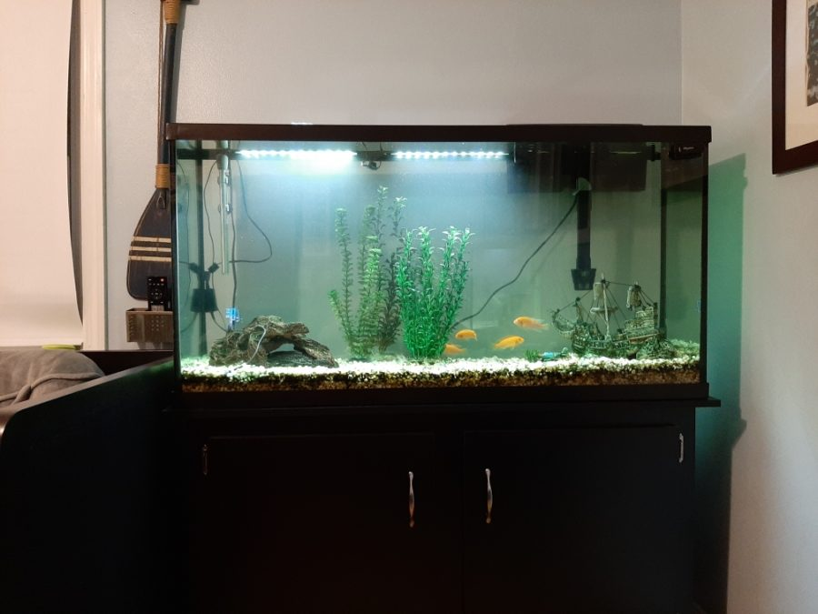 One+of+my+aquariums%2C+pictured+here%2C+is+a+75+gallon%2C+stocked+with+African+Cichlids%2C+a+Plecostomous+%28sucker%29+catfish%2C+and+many+Corydoras+Catfish.+A+Penguin+Biowheel+hang+on+back+filter+is+in+use+here%2C+as+well+as+a+glass+tube+heater.