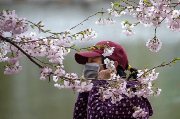 A woman prepares to remove her mask for a photo near cherry blossoms at the Yuyuantan Park in Beijing on Thursday, March 26, 2020. (AP Images)